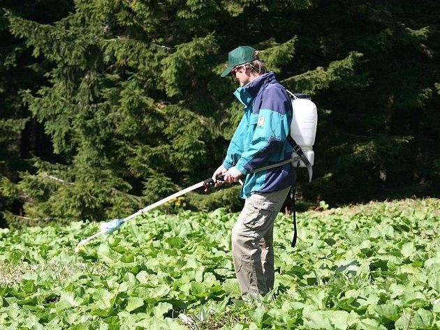 Tomáš Janata herbicidem likviduje porosty invazivního šťovíku alpského.