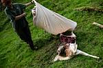 V Bernarticích vnikla smečka vlků do obory s daňky a deset jich zabila.
