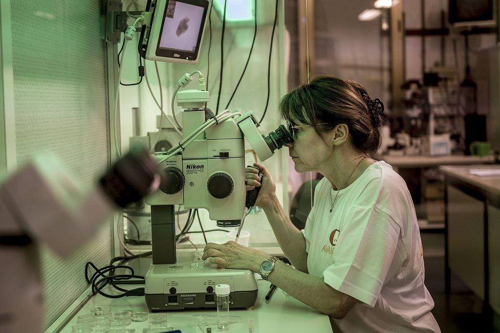 Italská veterinářka a embryoložka Giovanna Lazzari kontroluje vlaboratoři Avantea, zda vajíčka odebraná Nájin a Fatu správně dozrála. Do sedmi zdeseti vajíček pak bylo vpraveno sperma severního bílého nosorožce, aby mohlo vzniknout embryo.