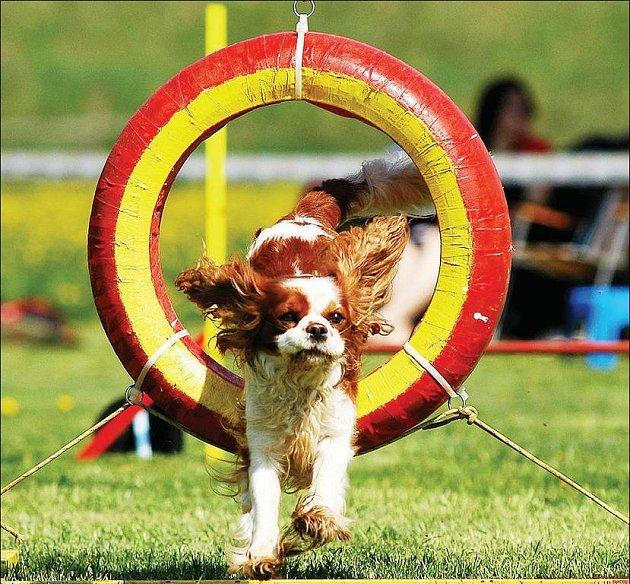 MILOVNÍCI PSŮ mohou 1. května vyrazit na první české závody v obedience, které se konají u psího útulku.
