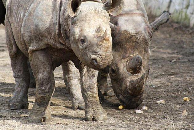 Jaro v královédvorské zoo - nosorožci černí