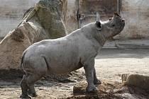 Jaro v královédvorské zoo - nosorožec černý