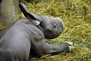 Mládě nosorožce černého ve dvorském Safari Parku.