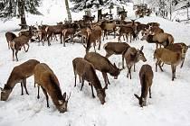 KRNAP každoročně v přezimovacích oborách dokrmuje jeleny a laně.