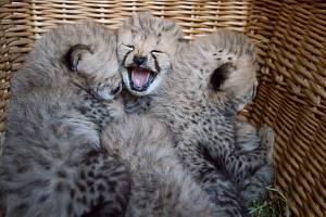 Ve Dvoře Králové se narodilo pět gepardů. Samice Spirit je přivedla na svět přímo před zraky hostů Safari kempu.