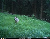 Vlk před fotopastí.