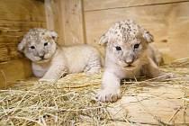 V Safari Parku Dvůr Králové se narodili lvi