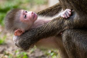 Jubilejní desáté odchovávané mládě se narodilo 24. srpna ve skupině vážně ohrožených drilů černolících.