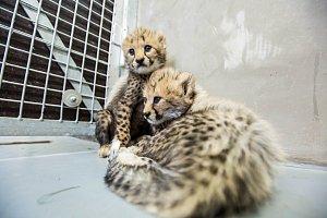 Čerstvě narozená gepardí paterčata