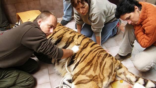 Veterináři při prohlídci tygra Semjona našli závažné zdravotní komplikace