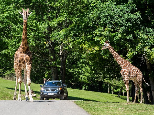 Žirafy v královédvorském safari.