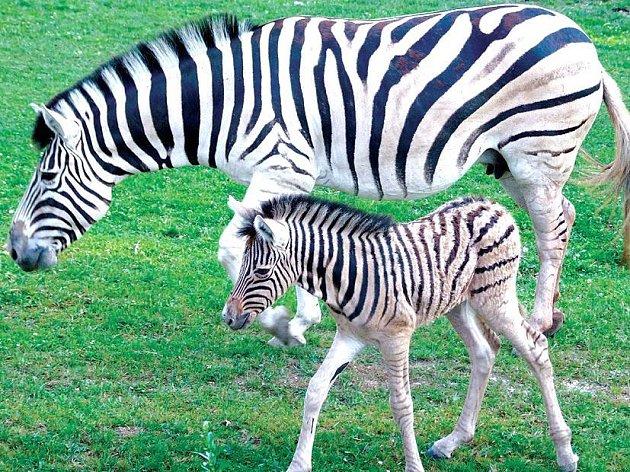 Malá Zebra se má čile k světu