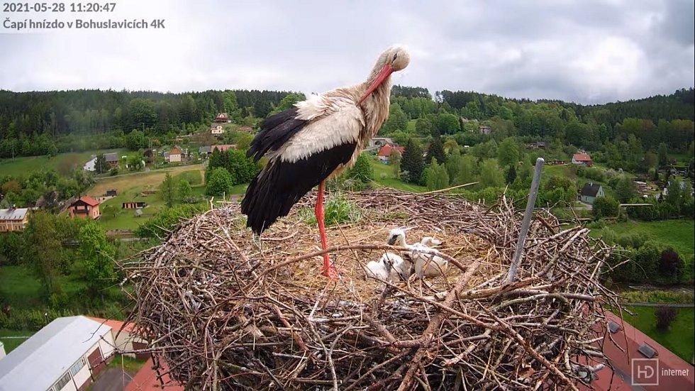 Čapí hnízdo v Bohuslavicích u Trutnova.