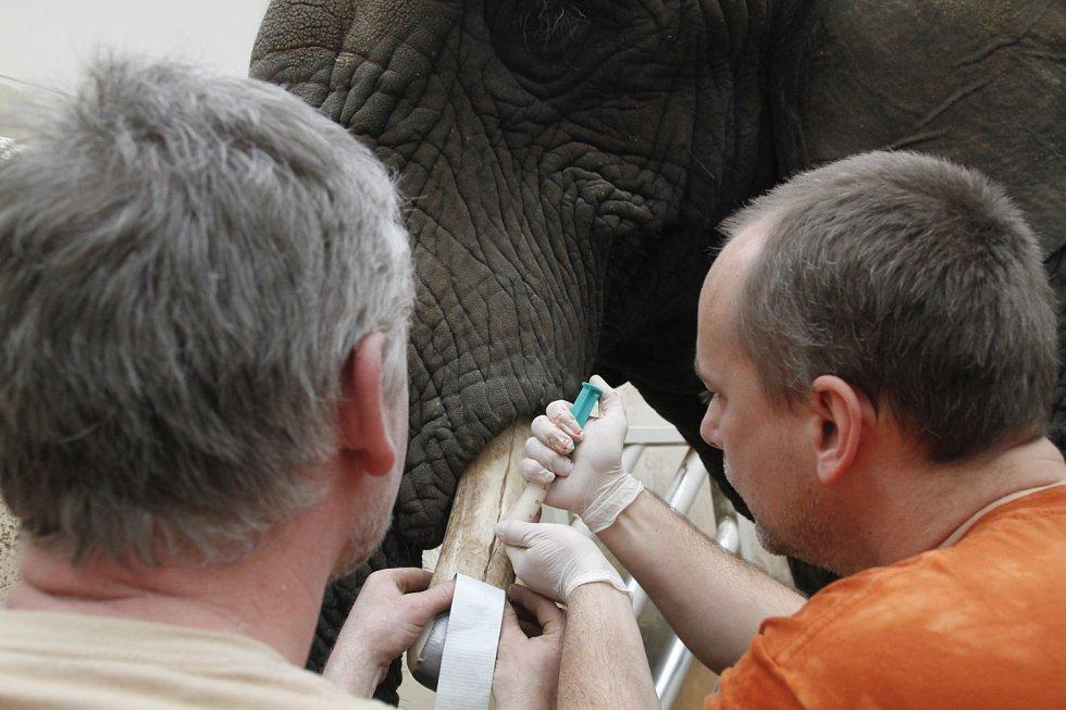 Slonici Saly popraskaly nemocné kly. Zoologové je raději uřízli
