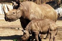 V královédvorské zoologické zahradě se den před velikonočním pondělím konal křest dvou samiček nosorožce černého. Narodily se v prosinci. Jména Eva a Jasmine jim vybrali herci Květa Fialová a Ondřej Vetchý.