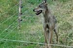 Vlčice byla nalezena vpátek 3. srpna ráno na Vrchlabsku vohradě s ovcemi, obehnané elektrickým ohradníkem, kam pravděpodobně sledovala jinou skupinku vlků, která předchozí noc strhala hospodáři čtyři ovce.