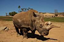 Samice nosorožce Nola na snímku z roku 2014