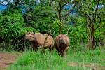 První nosorožci ze Dvora Králové byli ve Rwandě vypuštěni do volné přírody.