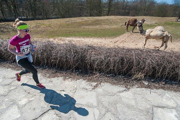 Uvnitř zoo ve Dvoře Králové nad Labem závodilo v sobotu sedm stovek běžců.