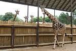 Samec žirafy Rothschildovy, kterého safari park získal z Plzně, se na konci týdne poprvé předvede návštěvníkům. Začne využívat celý výběh u panoramatické lávky v pěším safari.
