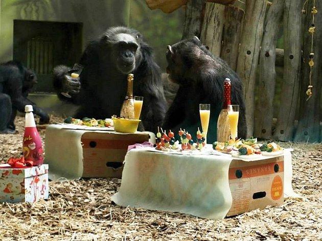 Čtveřice šimpanzů v ZOO pořádně oslavila narozeniny