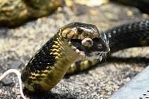 Kobra si s kobrami rozumí. A s myšmi se nepáře...