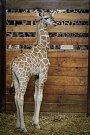 Mládě žirafy Rothschildovy - Olivia.
