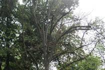Nemocné stromy v aleji nahradí nová výsadba.