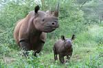 Čtvrté mládě nosorožce dvourohého (vpravo) se narodilo na konci října 2019 samici Deborah v tanzanském národním parku Mkomazi, kam byla převezena v roce 2009 ze ZOO Dvůr Králové nad Labem společně s otcem mláděte samcem Jamiem. Opět je to samička.