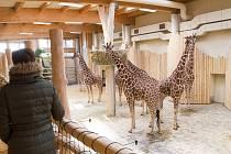 V novém pavilonu žiraf v dvorské zoo se můžou návštěvníci podívat zvířatům z očí do očí.