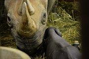 Mládě nosorožce černého s matkou ve dvorském Safari Parku.