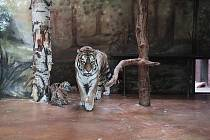 Tygřice Nina s mláďaty ve vnitřní expozici