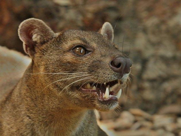 FOSA MADAGASKARSKÁ Midongy je novým nájemníkem královédvorské zoologické zahrady.