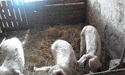 Státní veterinární správa podá trestní oznámení na chovatelku ze Slemena pro podezření ztrestného činu týrání zvířat.