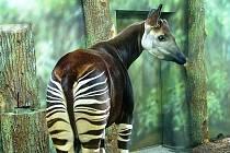 Okapi Deto