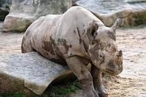 Nosorožčí samici Elišku vrátí do Afriky. Zřejmě příští rok