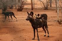 Pes hyenový.