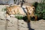 Lvice Khalila porodila ve Dvoře Králové dvě koťata lvů berberských. Ta se v safari parku narodila po třicetileté přestávce.