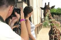 V královédvorské zoologické zahradě se uskutečnil fotografický workshop Fotosafari. Účastníci se pod vedením fotografa Jana Svatoše učili fotografovat zvířata. Součástí workshopu byla i návštěva žirafince spojená s krmením žiraf.