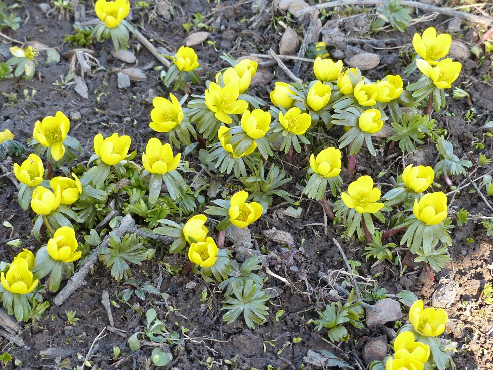 Jarní květiny ve Rtyni v Podkrkonoší.