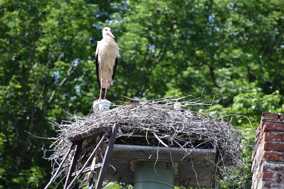 Kamera jako bidýlko. Čapí samec Bukáček pozoruje okolí, stojí přitom na kameře, která online snímá pohyb v hnízdě.