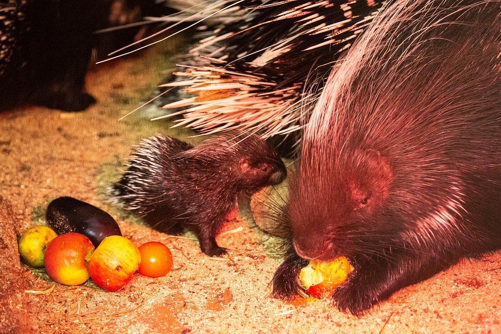 Chovná skupina dikobrazů se od začátku roku rozrostla celkem o tři mláďata, jedno v lednu a dikobrazí dvojčata v únoru. Veterinární prohlídka potvrdila, že všichni nově narození dikobrazi jsou samečci. Návštěvníci je budou moci poprvé spatřit na začátku h