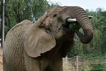 Celého melouna si dopřály dvorské slonice Saly a Umbu při pondělním světovém dni slonů a lvů. Melouny jsou pro slony netradiční pochoutka a kvůli vysoké cukernatosti se s nimi musí hodně šetřit.