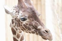 V Safari Parku Dvůr Králové se zabydluje nový samec žirafy síťované.