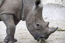 Ve čtvrtek brzy ráno zoologové bezpečně dopravili samici nosorožce bílého jižního do Dvora Králové z francouzské zoo Beauval.
