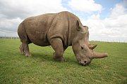 Fatu, jedna ze dvou posledních samic svéh druhu.