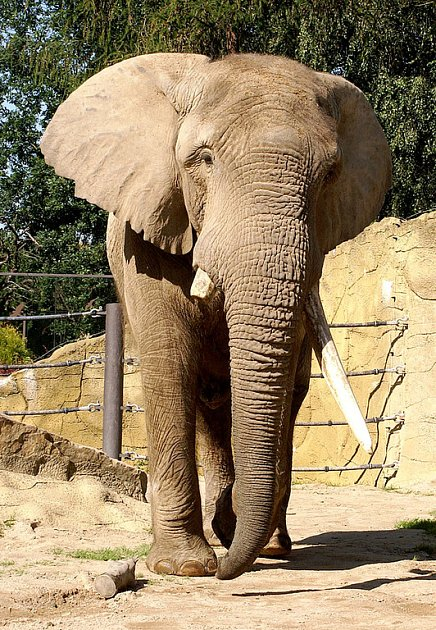 Samec Mooti ve výběhu královédvorské zoo