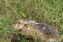 Myslivci pustili do přírody 26 zajíců, aby jich bylo víc.