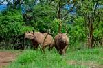 Dva ze vzácných nosorožců černých, kteří byli v červnu 2019 převezeni ze ZOO Dvůr Králové nad Labem do Rwandy.