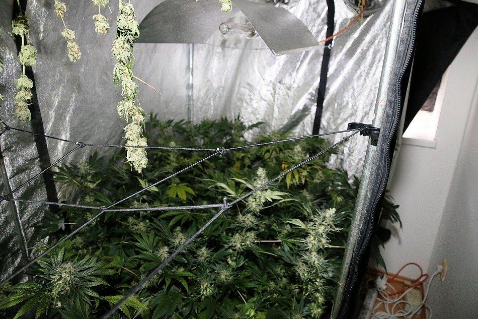 V bytě si zřídil zahradnictví, pěstoval ale konopí